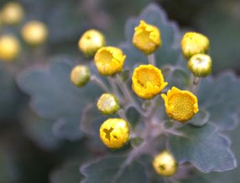 1159  黄色小菊 .jpg