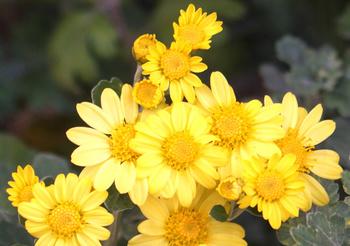 1241  黄色小菊 .jpg