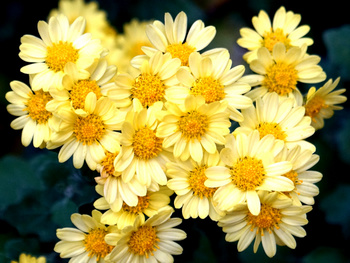 1242  黄色小菊 .jpg