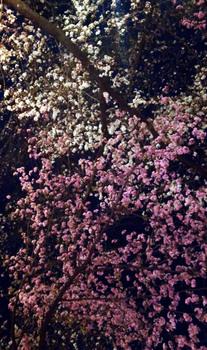 142 夜桜.jpg