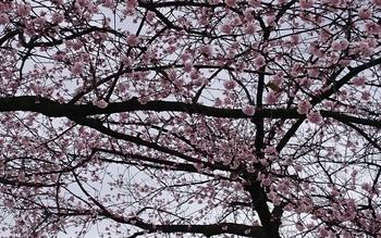 143 大寒桜.jpg