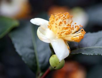 633 お茶の花.jpg
