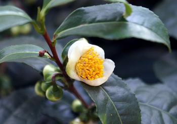 671 お茶の花.jpg