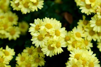 1158  黄色小菊 .jpg