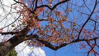 1249 桜の紅葉.jpg