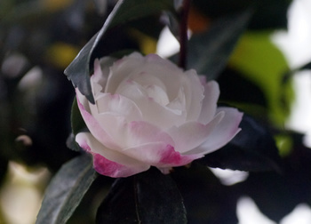 1596  山茶花 .jpg