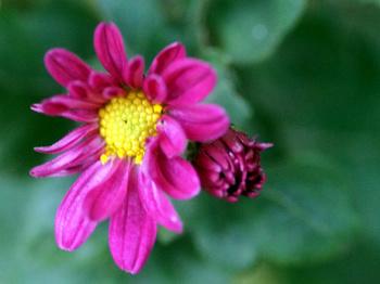 1608  紅小菊 .jpg