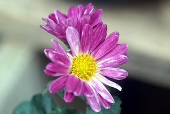 1610  紅小菊 .jpg