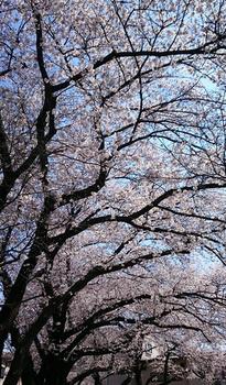 244 桜.jpg